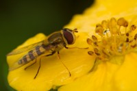 Flue på buskmure