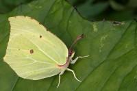 Sitronsommerfugl