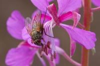 Flue på geitrams